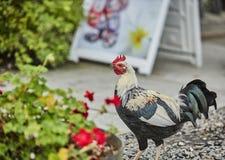 De binnenlandse van het de kippengevogelte van de landbouwbedrijfhaan haan van het de paaseierendorp royalty-vrije stock foto's