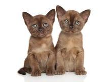 De Birmaan van het twee kattenras op witte achtergrond stock foto's