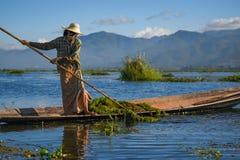 De Birmaanse aquatische installatie van de vrouwenoogst in Inle-meer royalty-vrije stock foto