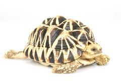 De Birmaanse Schildpad van de Ster Royalty-vrije Stock Foto's