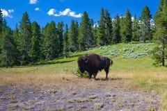 De bizon in het Nationale Park van Yellowstone, Wyoming De V.S. royalty-vrije stock foto