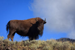 De Bizon van de koe Stock Fotografie