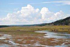 De Bizon van Yellowstone Stock Foto