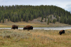 De Bizon van Yellowstone Stock Foto's