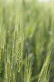 De blé fin verte  Photographie stock
