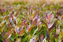 De bladen van de eucalyptus Royalty-vrije Stock Afbeelding