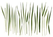 De bladen van het gras die op wit worden geïsoleerde Royalty-vrije Stock Afbeelding