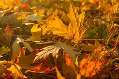De bladeren die van de de herfstesdoorn de bosgrond behandelen Stock Fotografie
