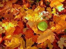 De bladeren die van de esdoorn de grond behandelen Stock Foto's