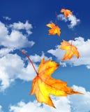 De bladeren die van de esdoorn tegen een blauwe hemel vallen Stock Foto