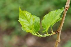 De bladeren die van de moerbeiboomboom van knoppen ontspruiten Stock Foto's