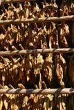 De bladeren die van de tabak in de schuur drogen. Vinales, Cuba Royalty-vrije Stock Afbeeldingen