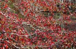 De bladeren draaien vurig rood stock afbeelding