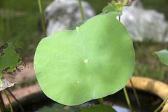 De bladeren drijven bovenop de waterspiegel of boven het goed gehouden royalty-vrije stock foto's