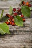 De bladeren en de appelen van de de herfstesdoorn Stock Afbeelding