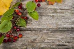 De bladeren en de appelen van de de herfstesdoorn Stock Foto's