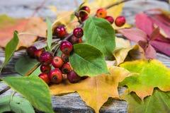 De bladeren en de appelen van de de herfstesdoorn Royalty-vrije Stock Foto