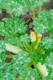 De bladeren en de bloem van de pompoen Stock Afbeeldingen