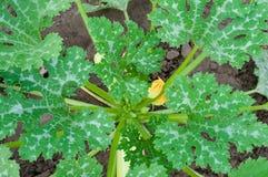 De bladeren en de bloem van de pompoen Stock Foto's