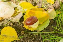 De bladeren en de kastanjes van de herfst Op zee Stock Afbeelding