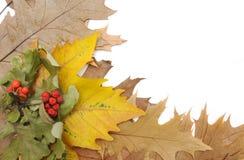 De bladeren en de lijsterbes van de herfst. stock afbeelding