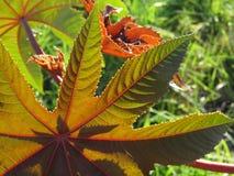 De bladeren en de schaduwen van de castorolieinstallatie Royalty-vrije Stock Foto