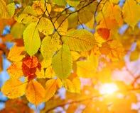 De bladeren en de zon van de herfst Stock Afbeeldingen