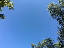 De bladeren en het lidmaat van Terminaliaivorensis met blauwe hemelachtergrond royalty-vrije stock foto