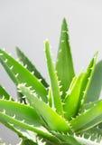 De bladeren van aloëvera stock afbeeldingen