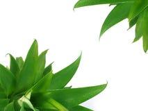 De bladeren van ananassen royalty-vrije stock foto