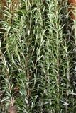 De bladeren van de besnoeiingsrozemarijn Stock Foto