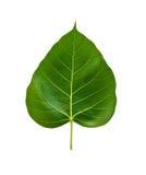 De Bladeren van Bhodi (isolatie) Stock Foto