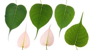 De bladeren van Bodhi stock afbeelding