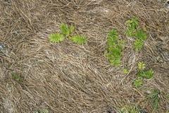 De bladeren van de boterbloem onder het droge gras Royalty-vrije Stock Foto's