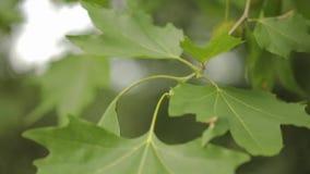 De bladeren van de close-upesdoorn, de slingering van esdoornbladeren in de wind stock video
