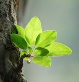 De bladeren van Crabapple in de lente Royalty-vrije Stock Fotografie