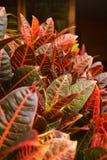 De Bladeren van Croton Royalty-vrije Stock Foto's