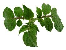 De bladeren van de aardappel Stock Foto's