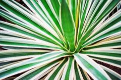 De bladeren van de agave als achtergrond Stock Afbeelding