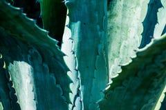 De bladeren van de agaveinstallatie Stock Foto's