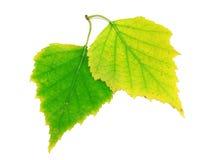 De bladeren van de berk Stock Foto