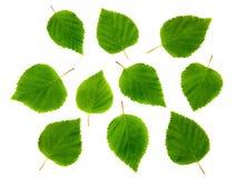 De bladeren van de berk. royalty-vrije stock afbeelding