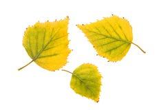 De bladeren van de berk Stock Foto's