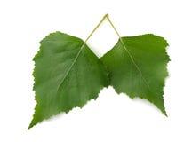 De bladeren van de berk Stock Afbeeldingen