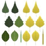 De bladeren van de berk en zaadpeulen Stock Foto's
