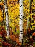 De Bladeren van de Berk van de Esp van de daling Stock Fotografie