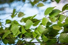 De bladeren van de berkboom Stock Fotografie