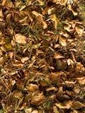 De bladeren van de beuk Stock Afbeelding