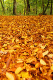 De bladeren van de beuk in de herfst Stock Afbeeldingen