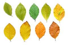 De bladeren van de beuk tijdens het jaar Stock Foto's